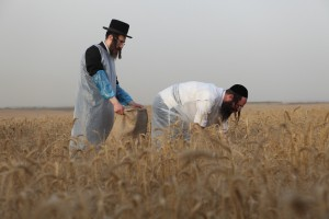 Ultra-Orthodox Jewish harvesting wheat with hand sickles in a field of Moshav Komemiut near the southern Israeli town of Kiryat Gat, Tuesday, May 17, 2011. The wheat will be stored for almost a year before being used to grind flour in order to make the Matzah Shemurah (unleavened bread) for the week-long Passover festival next year.