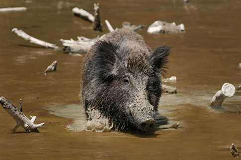 The Wild Boar. Not kosher.