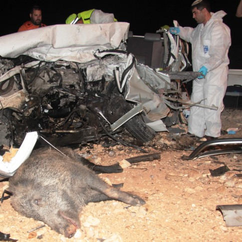 boar car accident