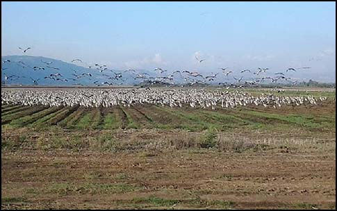 Cranes at Hula Valley