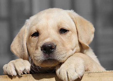Labrador puppies represent the quality of doghood in the universe.