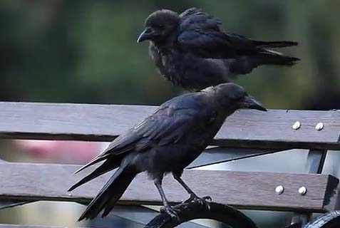 Crows Rule Cities
