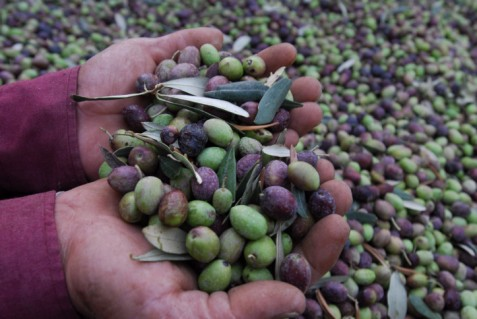 A farmer holds olives in his hands during the olive tree harvest season in the Pinkas Vineyards at Carmei Yosef