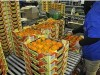 Packing plant in Israel prepares persimmons for shipment.