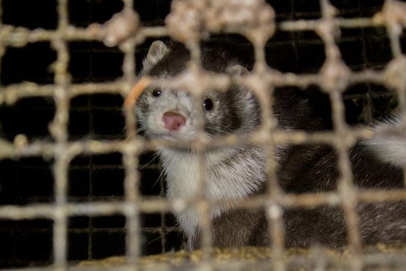 'Several infected' with a mink-related Covid-19 in Denmark, say WHO