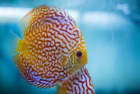 Amazon Fish on the Golan