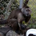 Conner, a 17-year-old wedge-capped capuchin monkey from the Ramat Gan Safari.