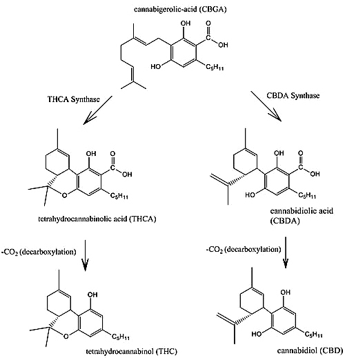 Diagram of the THC and CBD biosynthesis from one of the chemicals extracted from the cannabis plant.