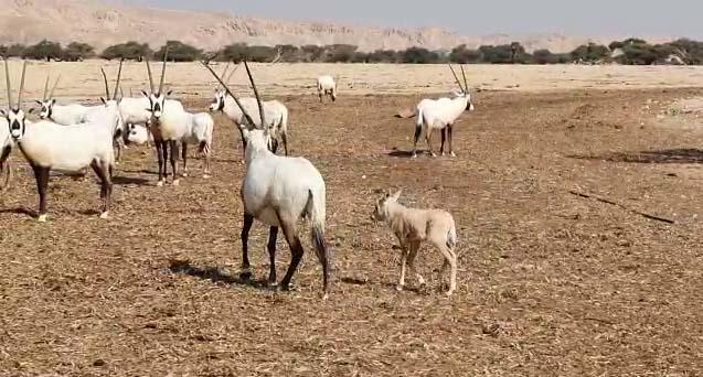 Mazal Tov: Sahara Ram Calf Born in an Arava Preserve