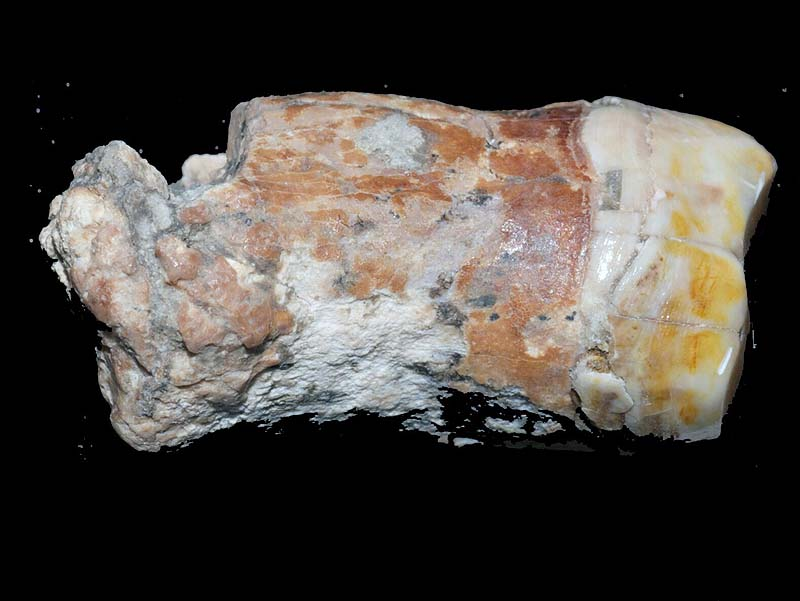 The Neanderthal tooth. / Photo credit: Erella Hovers, courtesy of the Hebrew University of Jerusalem.