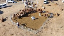 Wayward camels being corralled by Israeli law enforcement
